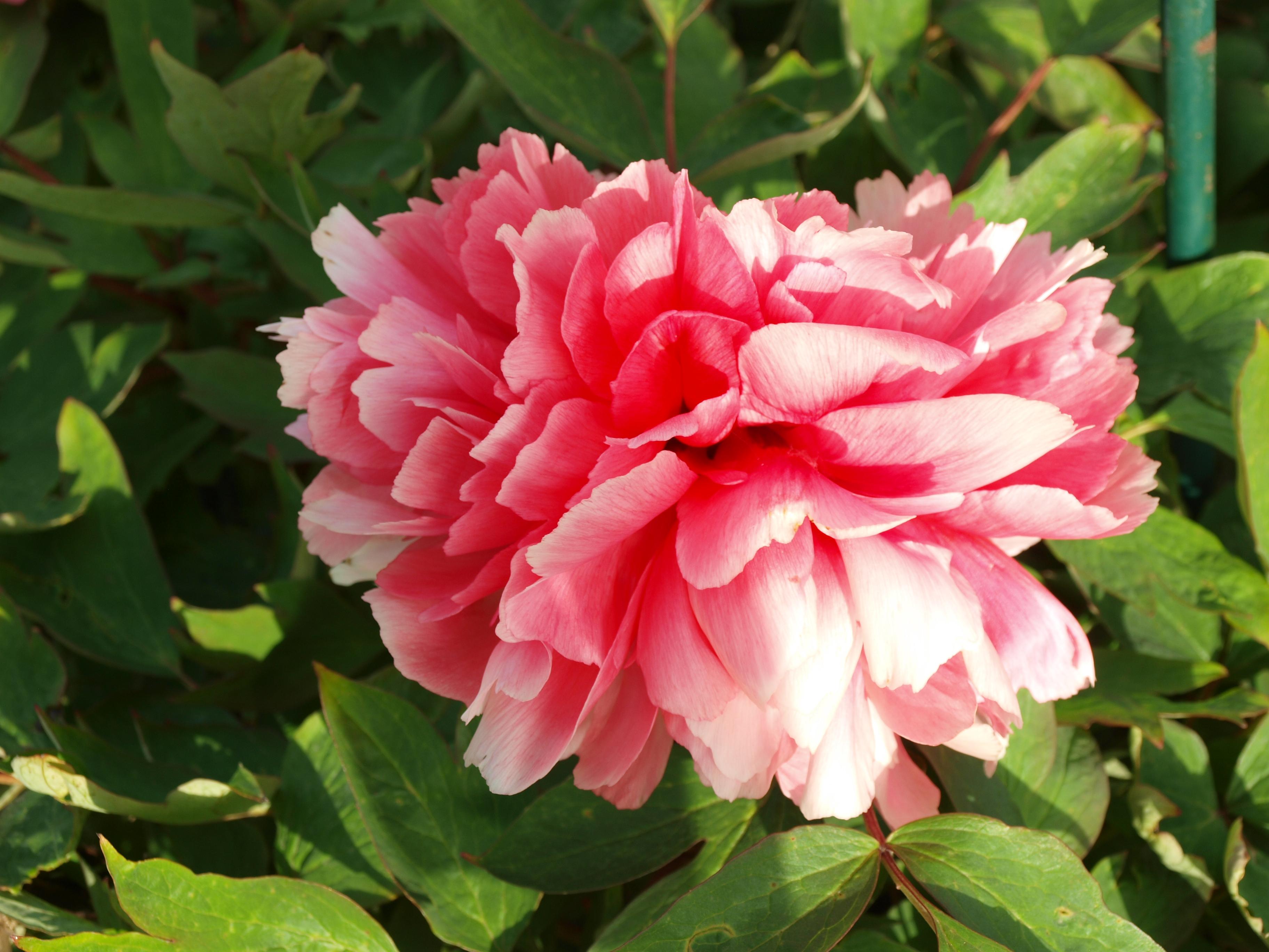 Rose da giardino cespugli e panchine da giardino usate - Giardino con rose ...