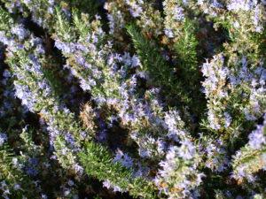 rosmarino aromatiche - verdi e contenti