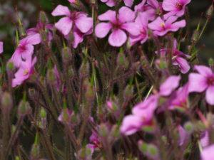 Geranium Maderense - Marzia de il fiore all'Occhiello