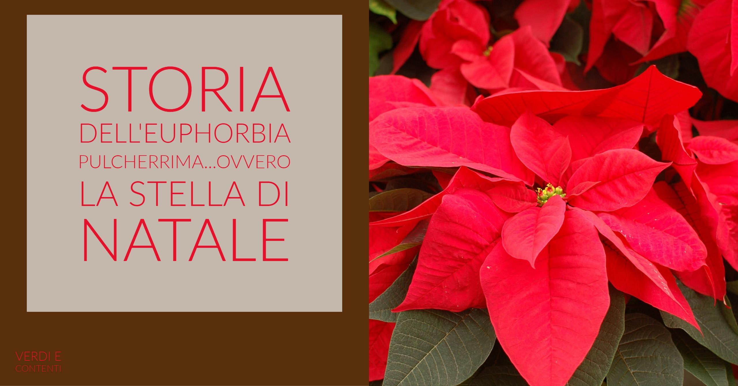 La storia dell' Euphorbia Pulcherrima ovvero storia della stella di Natale.
