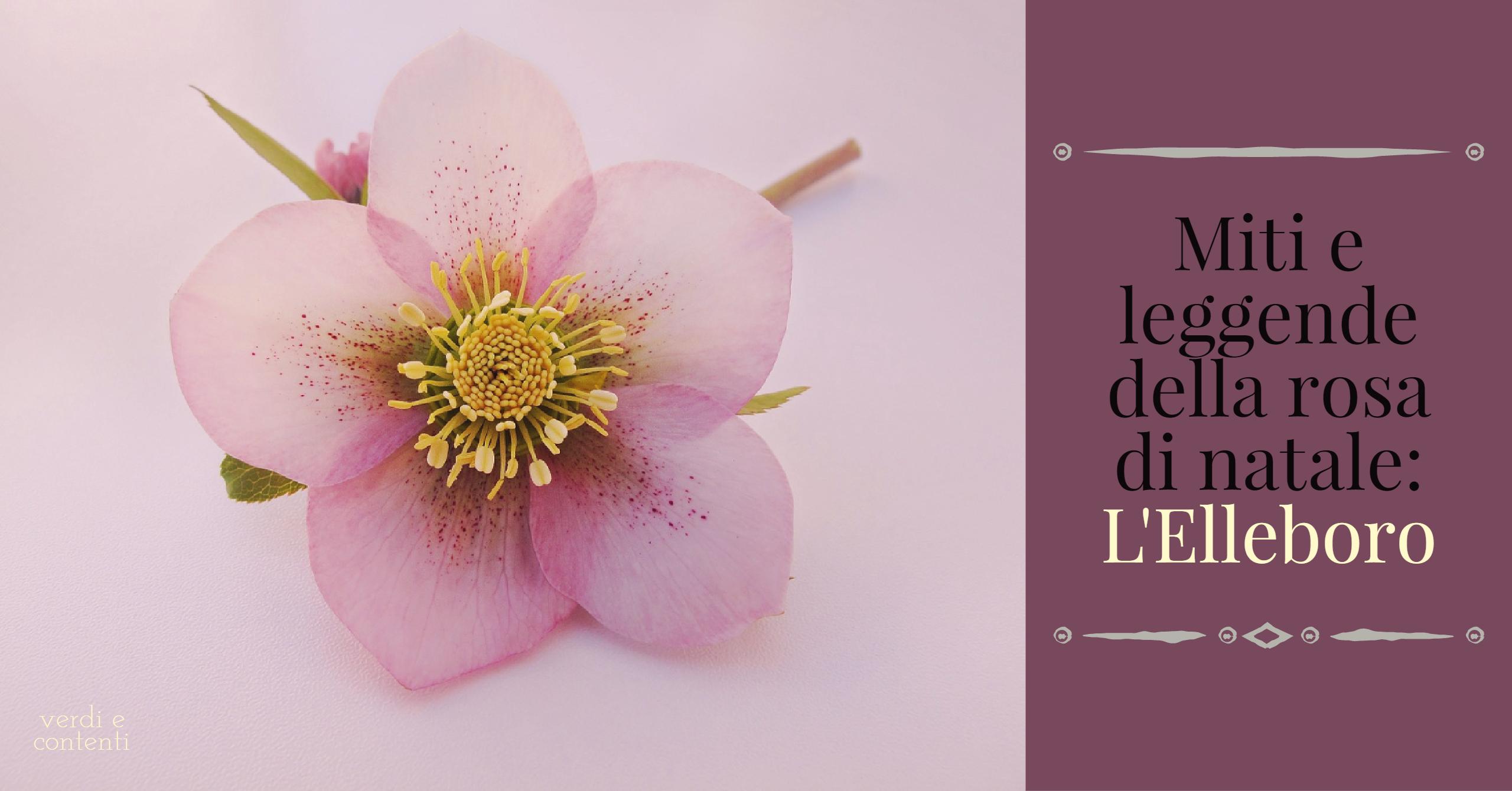 Miti e leggende della rosa di natale: L'ELLEBORO