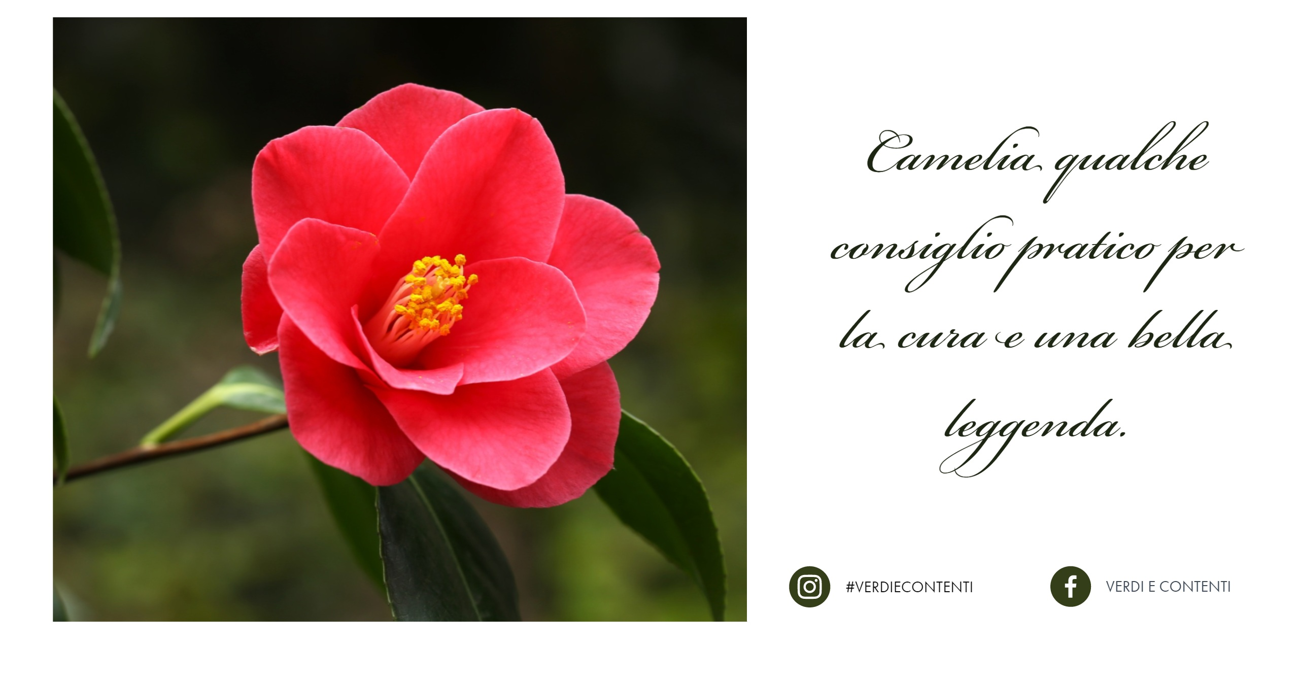 Pianta di camelia cure e consigli perch non profuma for Pianta camelia