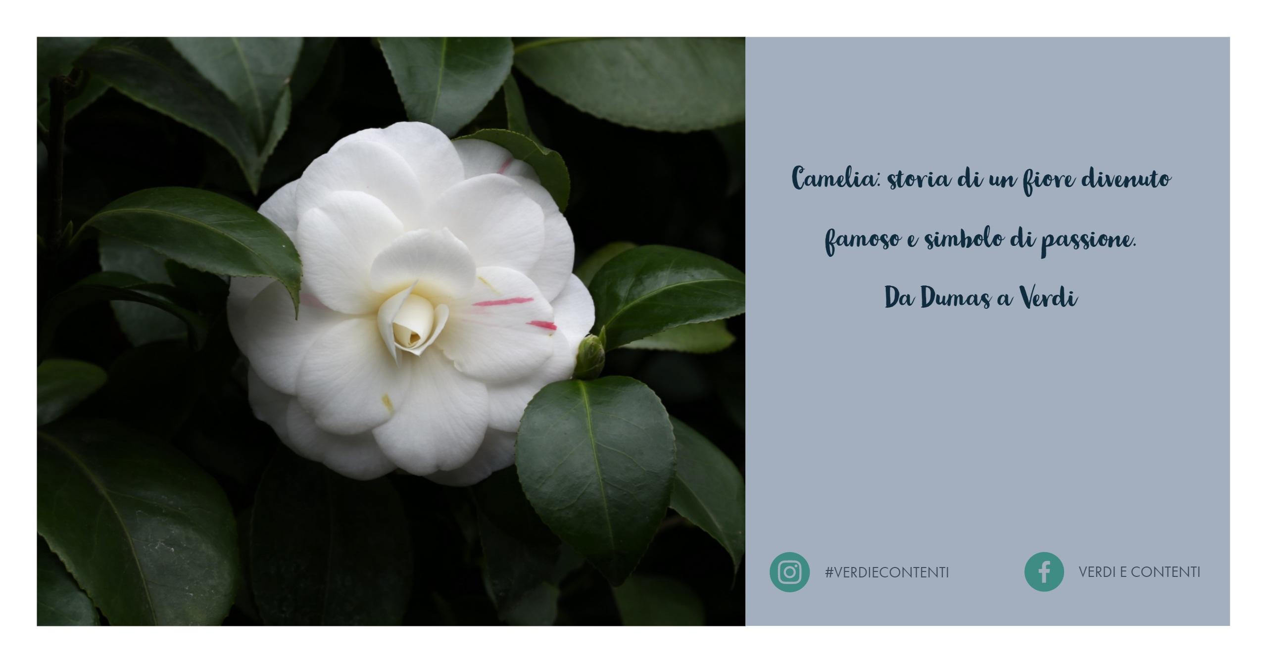 Camelie, storia di un fiore divenuto famoso.