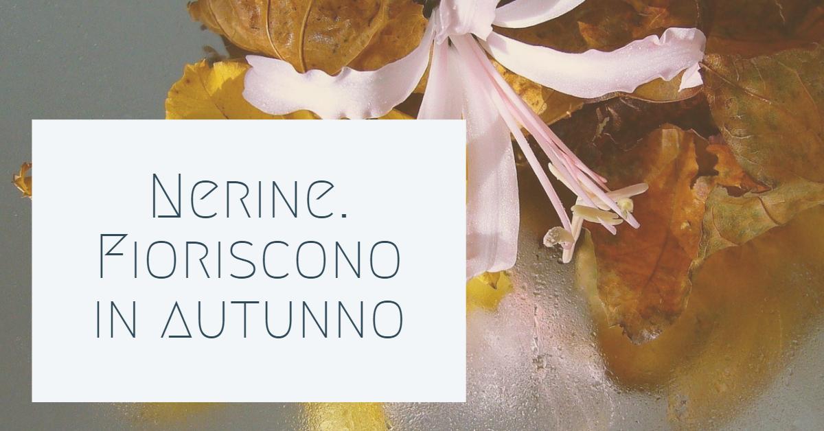 Nerine. Bulbi che fioriscono in autunno.
