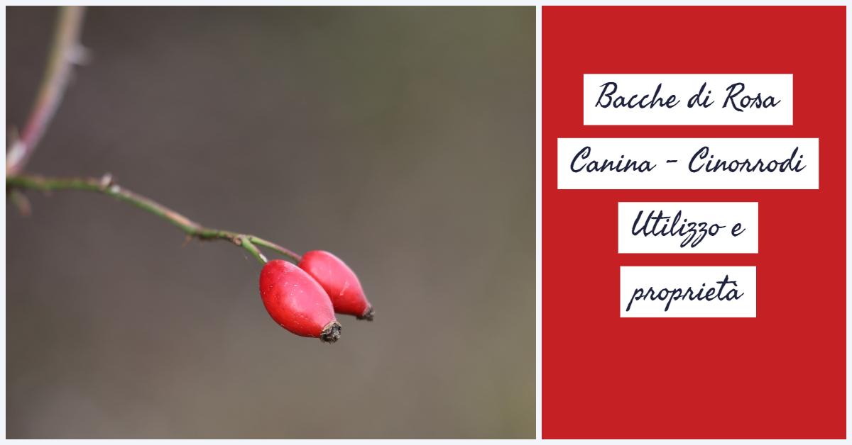 Bacche di Rosa Canina – Cinorrodi . Utilizzo e proprietà