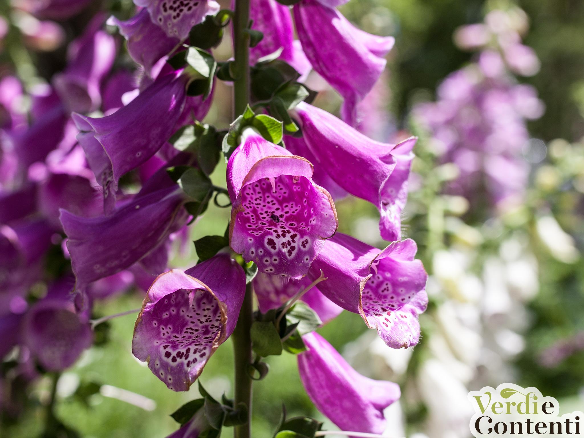 Piante Perenni Da Fiore differenza tra piante annuali, biennali erbacee perenni