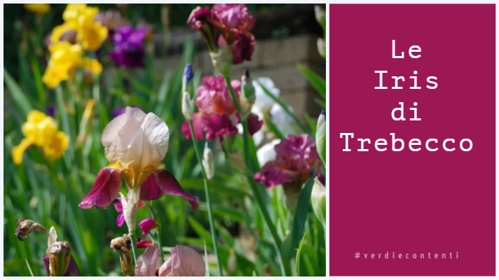 Il Giardino delle Iris di Trebecco.
