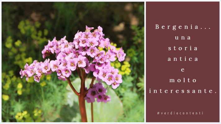 La Bergenia. La pianta delle nonne.