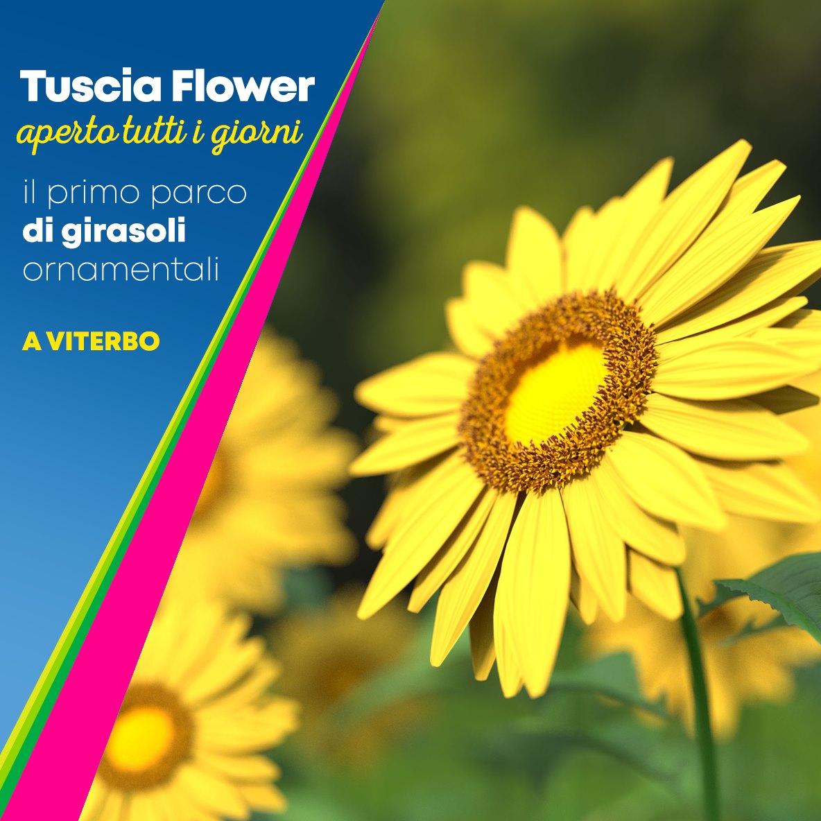TUSCIA FLOWER APRE A VITERBO IL PRIMO PARCO DI GIRASOLI