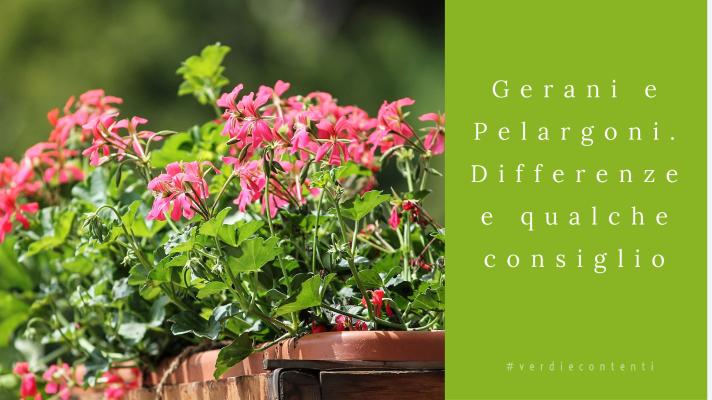 Gerani e Pelargoni…