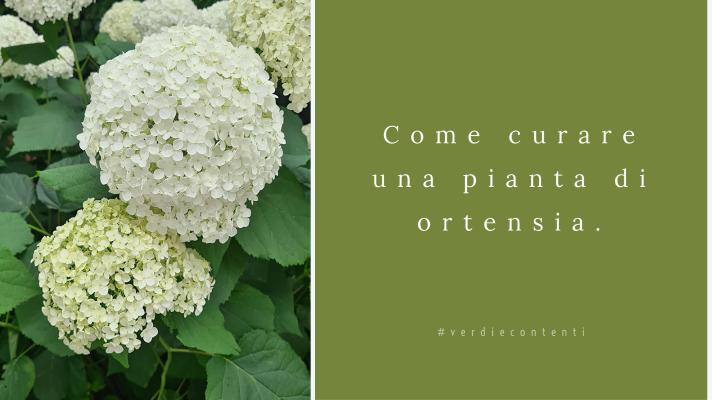 Come curare una pianta di ortensia.
