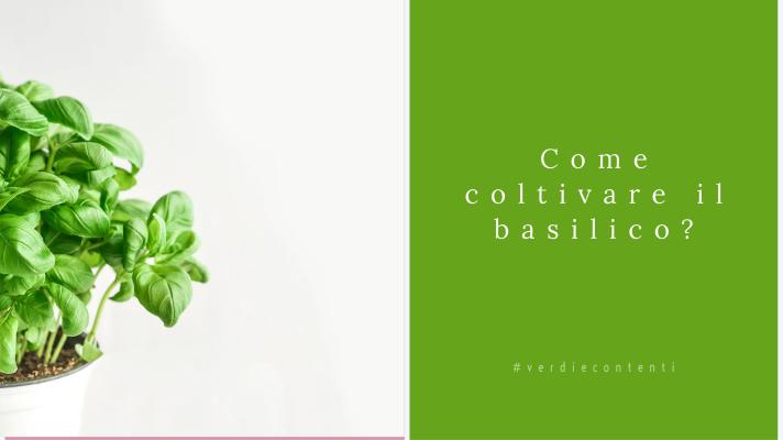Come coltivare il basilico?Come raccoglierlo?